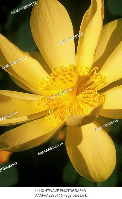 American Yellow Lotus(Nelumbo lutea)Slocum Water Gardens/Florida