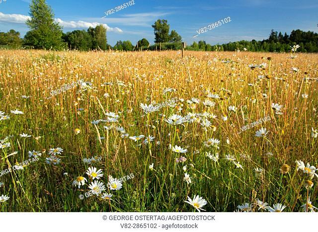 Daisy meadow, Willamette Mission State Park, Oregon