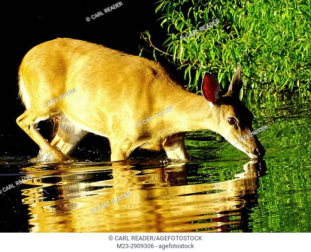A white-tailed deer, Odocoileus virginianus, takes a drink in the strong late-night light, Pennsylvania, USA