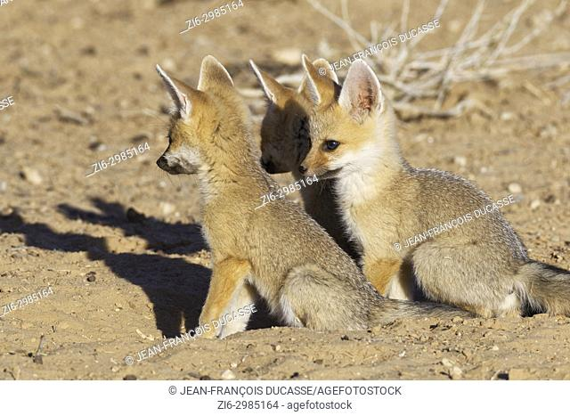 Cape fox (Vulpes chama), three cubs at burrow entrance, evening light, Kgalagadi Transfrontier Park, Northern Cape, South Africa, Africa