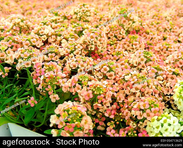 Alyssum flowers. Alyssum in sweet colors. Alyssum in a black tray on wood table, in a dense grounding in a greenhouse.