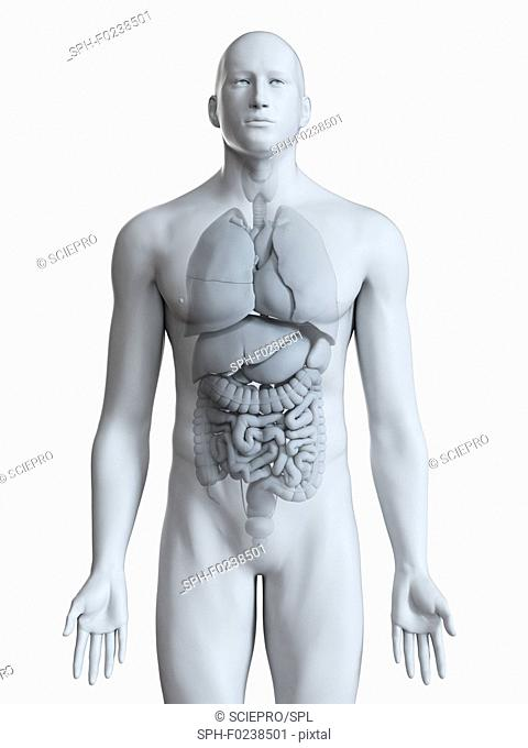 Illustration of the male organs