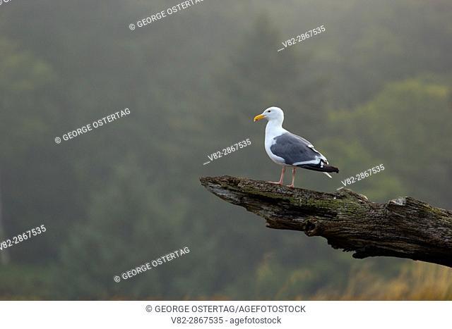 Gull on log at Salmon River Estuary, Cascade Head Scenic-Research Area, Lincoln County, Oregon