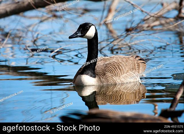 Canadian Goose swimming in a small pond