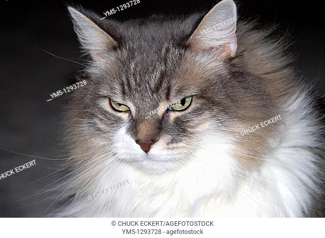 Gray and white long haired domestic cat