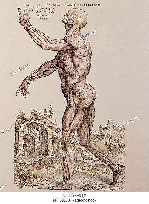 medicine, anatomy, muscles, woodcut, De humani corporis fabrica by Andreas Vesalius, 1543, private collection, people, human body, 16th century, Vesal, historic