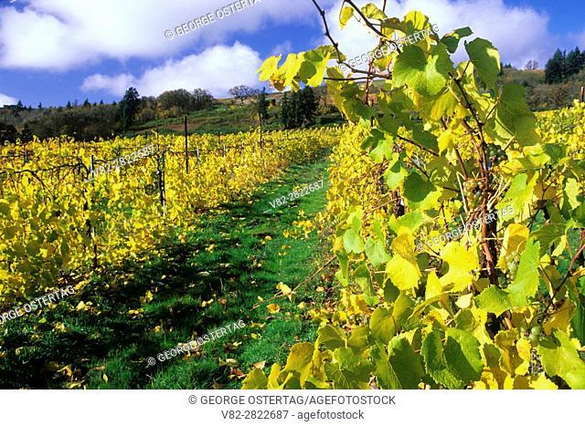 Witness Tree Vineyard, Polk County, Oregon