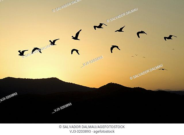 gulls in flight training as dusk arrives,ba–olas sky,girona,catalonia,spain,