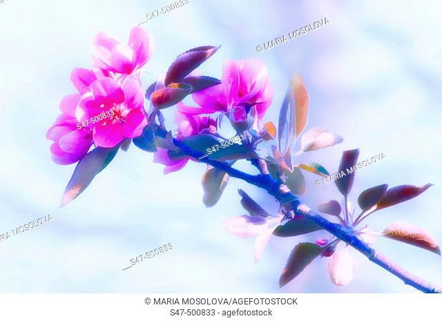 Crabapple Blossom. Malus coronaria, Pyrus coronaria. Maryland, USA