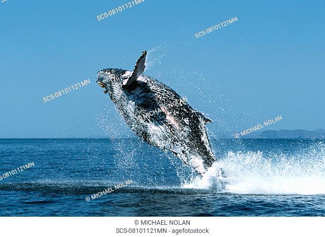 Sub-adult Humpback Whale, Megaptera novaeangliae, breaching in northern Gulf of California, Mexico