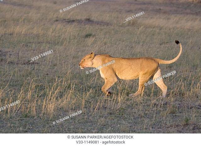 A lioness looks for her young cub on the plains of the Masai Mara