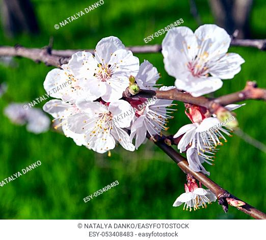 cherry branches with white cherry flowers in the garden on a background of green grass