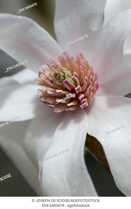 Close up of a Magnolia stellata flower