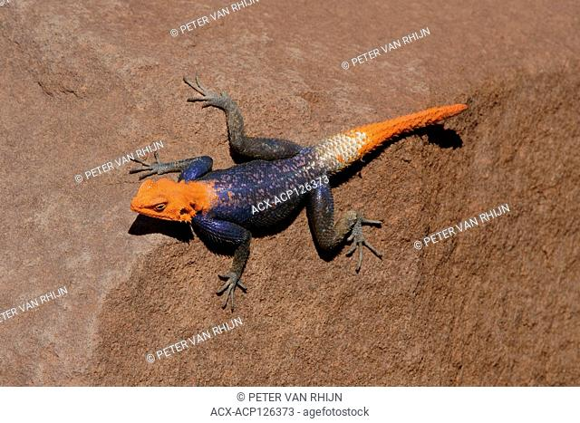 Rainbow Lizard (Agama Agama) A very colourful lizard which seems quite common in the Spitzkoppe area, Length: 20 cm. Central Namibia,Africa