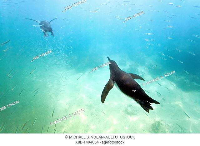Galapagos penguin Spheniscus mendiculus feeding underwater on small baitfish in the Galapagos Island Archipelago, Ecuador  MORE INFO This is the only species of...
