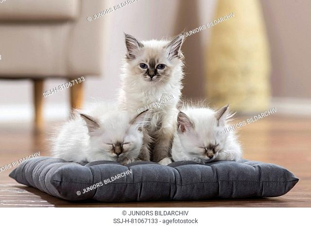 Sacred cat of Burma. Three kittens on a cushion, two of them sleeping. Germany