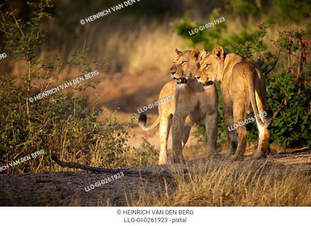 Lion Panthera leo females walking, Kruger National Park, Mpumalanga Province, South Africa