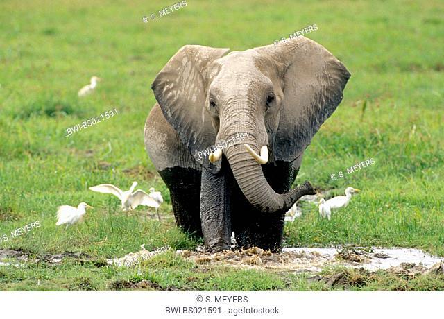 African elephant (Loxodonta africana), standing in mud, Kenya, Amboseli National Park
