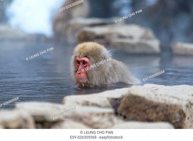 Monkey enjoy hot spring in Japanese