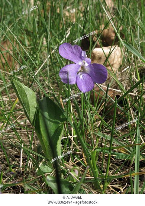 Hairy violet (Viola hirta), blooming in a meadow, Germany, Lower Saxony