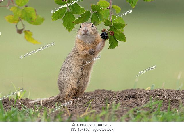 European Ground Squirrel, European Suslik, European Souslik (Citellus citellus). Adult sitting on its haunches under a Bramble twig. Vienna, Austria