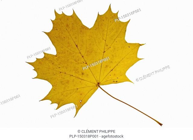 Sugar maple / rock maple (Acer saccharum) leaf in autumn colours, native to North America against white background
