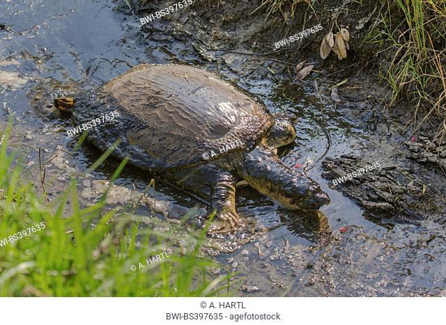 Florida softshell turtle (Apalone ferox, Trionyx ferox), kreeping in a muddy brooke, USA, Florida, Kissimmee