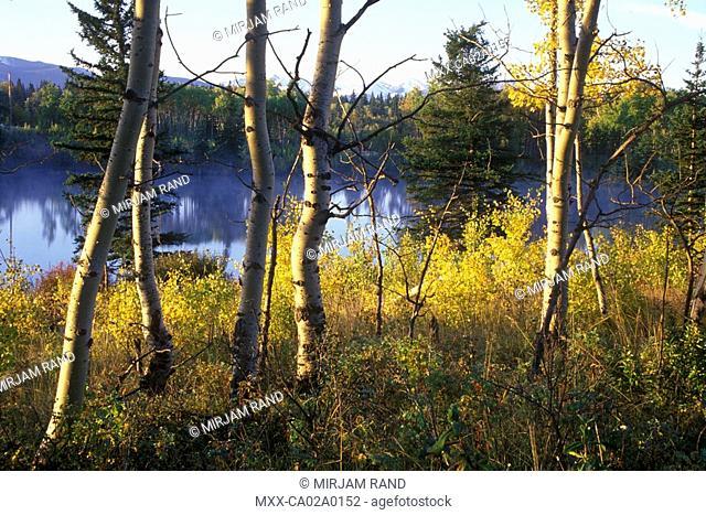 Autumn Poplars, alberta