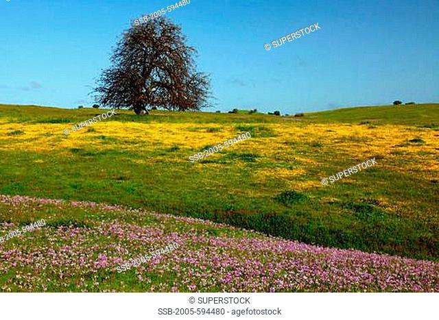 Field of yellow Goldfield and Shooting Star flowers with an oak tree in background, Los Padres National Forest, California, USA