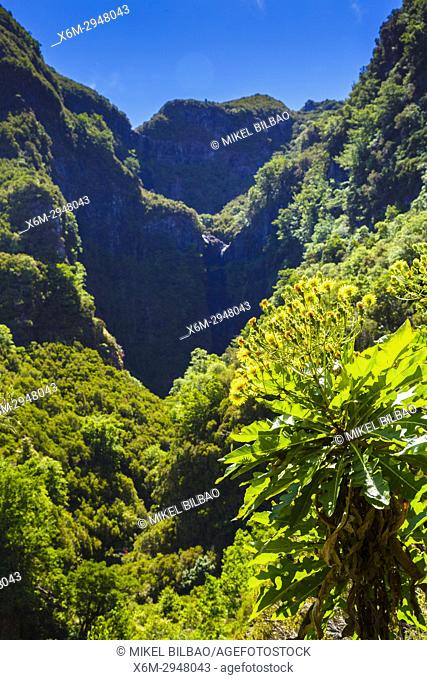 Flowers and canyon. Levada das 25 Fontes route. Madeira, Portugal, Europe