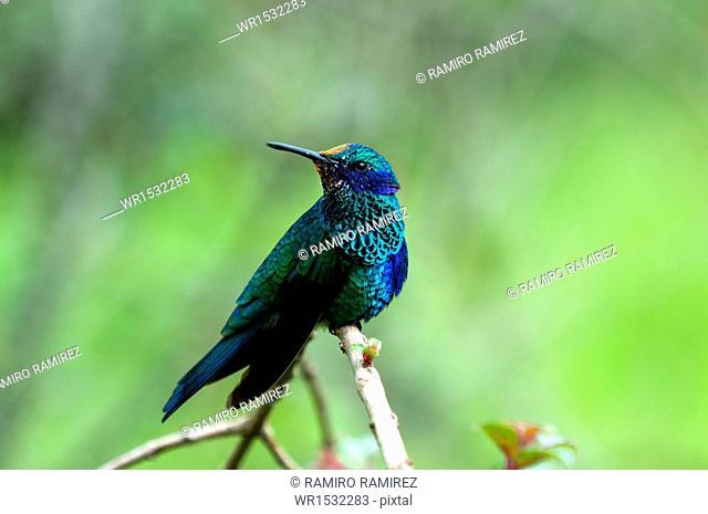 Colibri coruscans