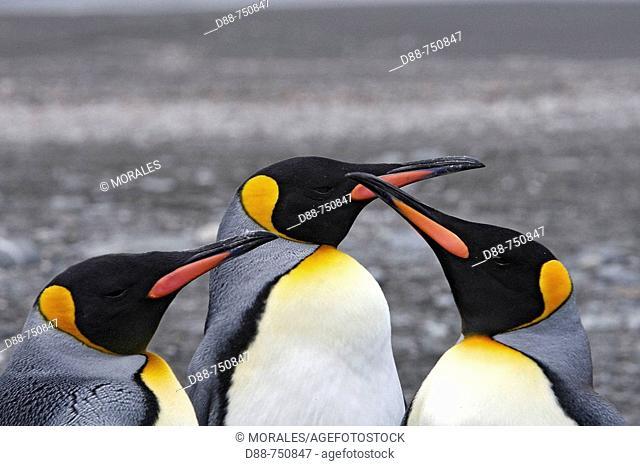 King Penguin (Aptenodytes patagonica). Saint Andrew, South Georgia, SGSSI, UK