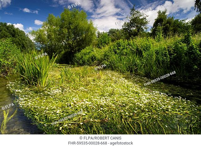 River Water-crowfoot (Ranunculus fluitans) flowering mass, growing in river habitat, Little Stour River, Canterbury, Kent, England, June