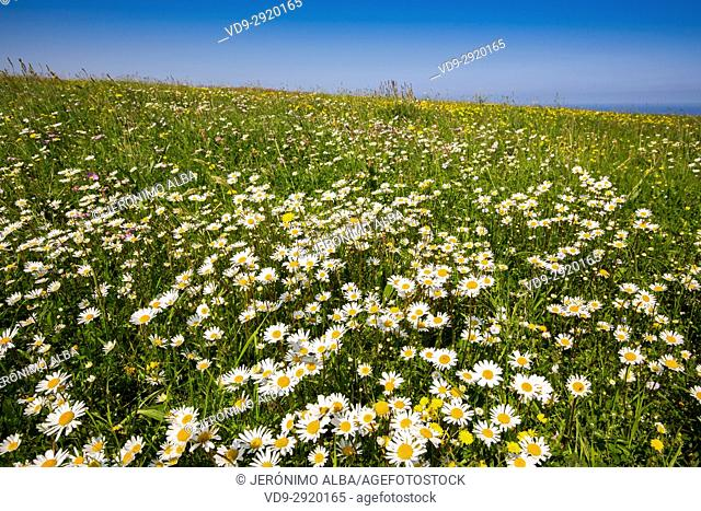 Field of daisy flowers. Liencres Natural Park. Cantabrian Sea. Santander, Cantabria Spain. Europe