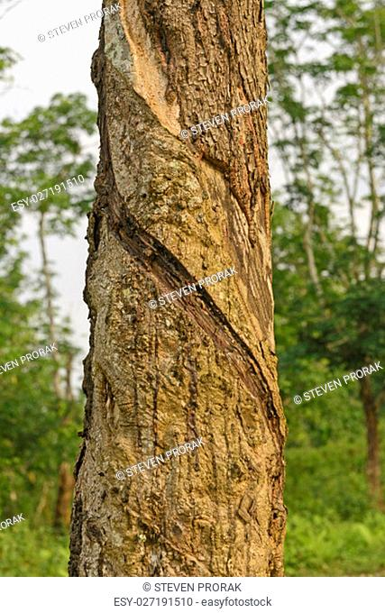 Rubber with slash cuts for harvesting on a plantation in Assam, India