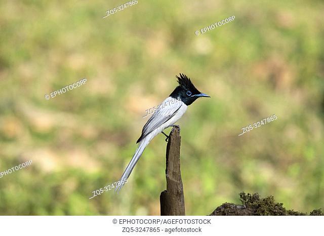Indian Paradise flycatcher, white morph, Terpsiphone paradisi, Sattal, Nainital, Uttarakhand, India