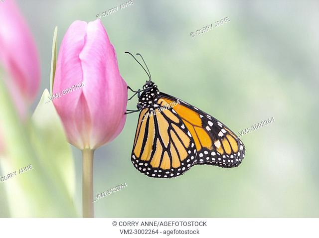 Sideview of a Monarch Butterfly with it's wings closed, resting on a pink tulip with a soft green natural background - Fraser Valley, British Columbia Canada