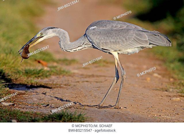 grey heron (Ardea cinerea), with prey in bill, Germany, Rhineland-Palatinate