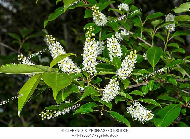 Wild Black Cherry Prunus serotina in Bloom at Corolla, NC USA