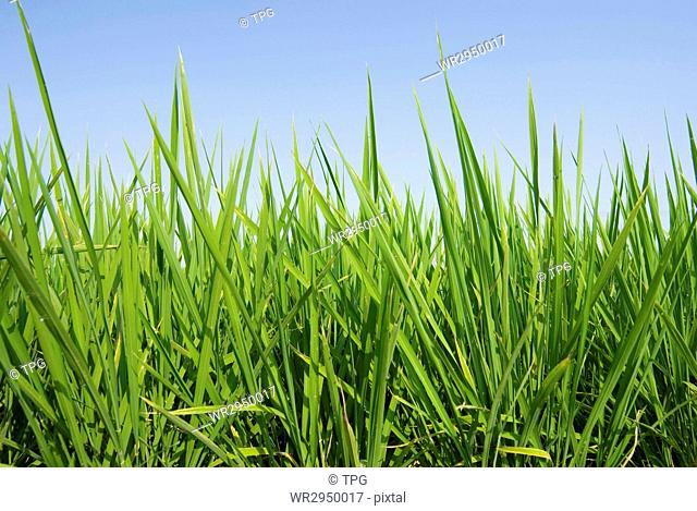 Fresh Grass land under blue sky, nature concept