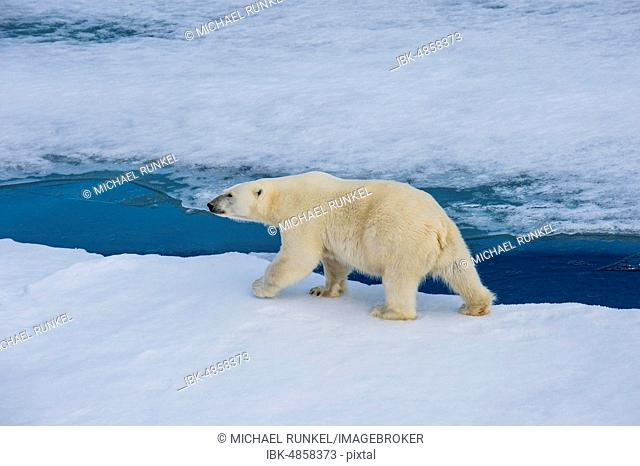 Polar bear (Ursus maritimus) walking on a ice floe, Arctic, Svalbard, Norway