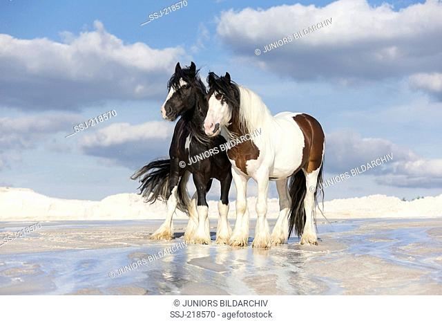 Gypsy Cob. Pair of stallions standing next to each other on wet kaolin sand. Poland