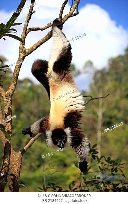 Black-and-white Ruffed Lemur (Varecia variegata), adult in a tree, foraging, Madagascar, Africa