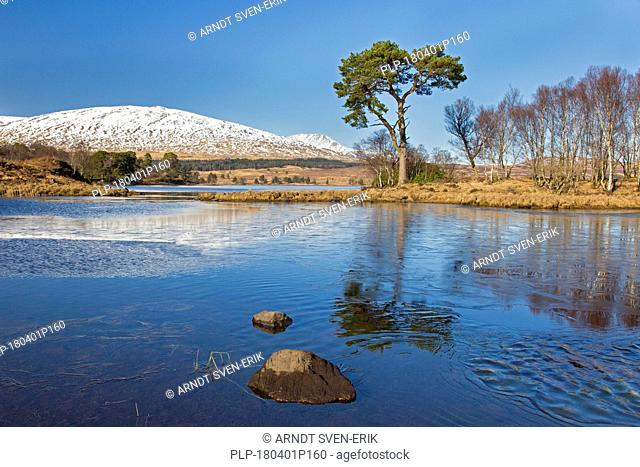 Scots pine (Pinus sylvestris) along Loch Tulla in the Scottish Highlands in winter, Argyll and Bute, Scotland, UK