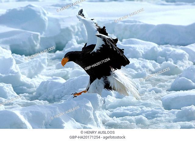 Steller's sea eagle (Haliaeetus pelagicus), Russia