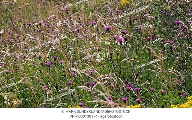 Summer Meadow Grasses Thistles and Flowers Swaying in the Breeze at Ribblehead Yorkshire Dales England
