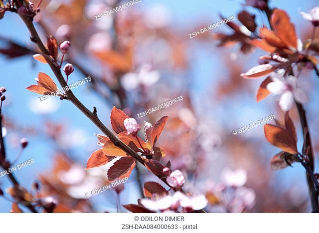 Cherry branches