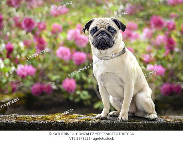 Pug sitting in front of pink flowers