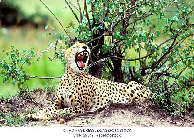 Cheetah Acinonyx jubatus - Female, yawning  Masai Mara National Reserve, Kenya