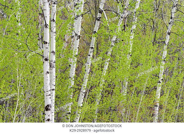 Early bring aspen woodlot with emerging foliage, Greater Sudbury, Ontario, Canada